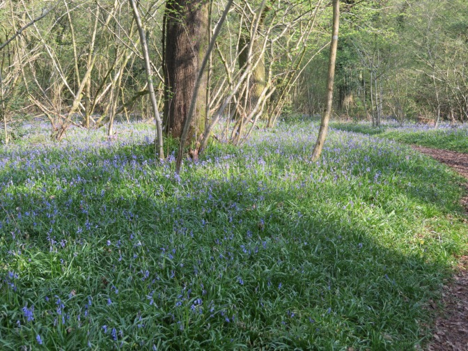 Bluebells lift the spirits